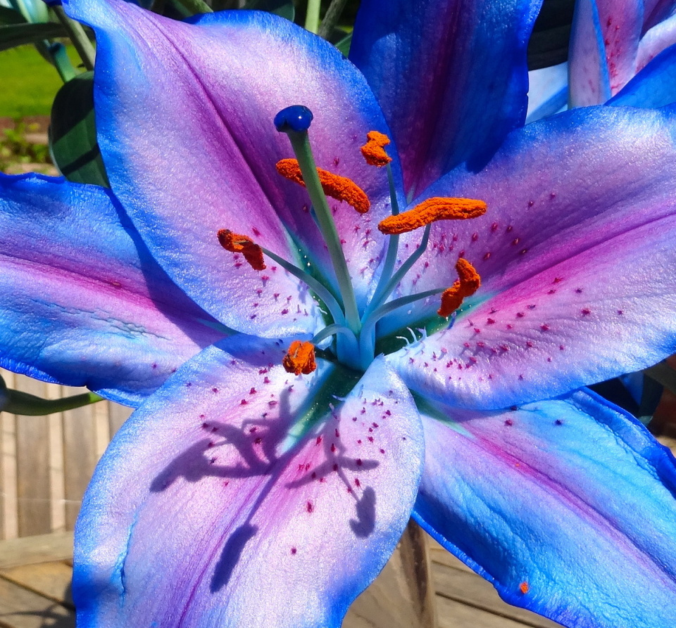 Blue lily par1 blipfoto blue lily izmirmasajfo