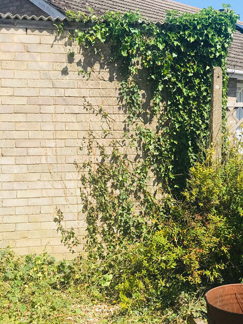 Less ivy