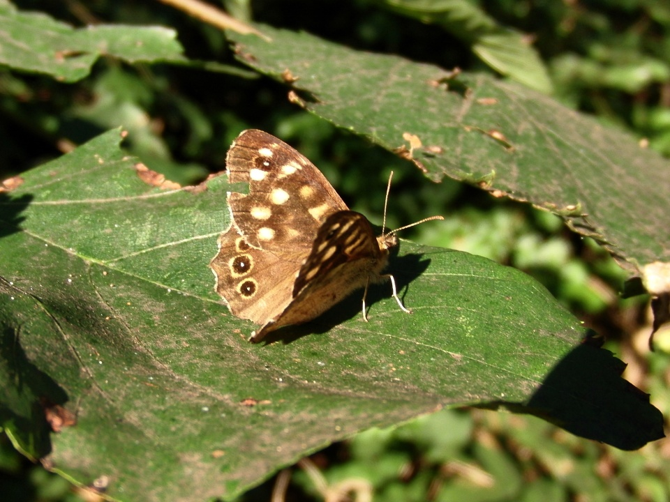 Speckled Wood Butterfly Fraupic Blipfoto
