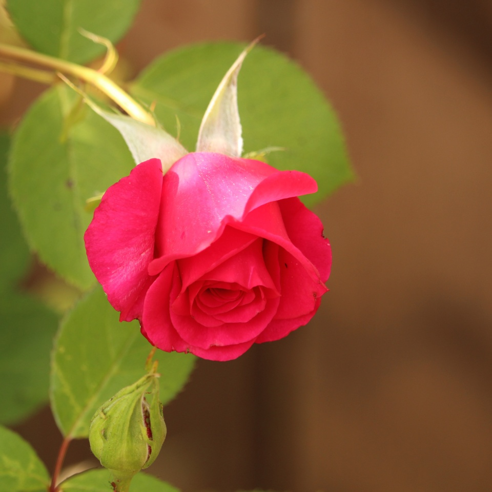 What Does A Red Rose Symbolize Loisbiz Blipfoto